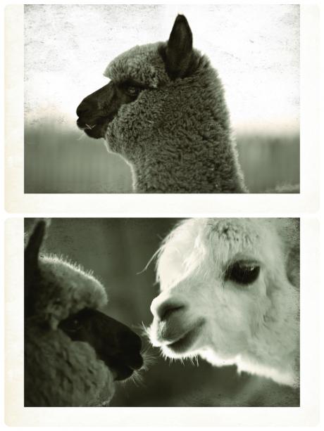 Top: Mr Jones; Bottom: Mr Jones and Reggie - BSA owner's very own alpacas!