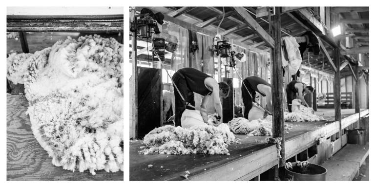 Shearing the sheep. Photocopyright of Brooklyn Tweed