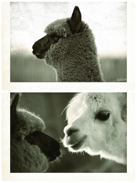 Top: Mr Jones; Bottom: Mr Jones and Reggie - BSA owner's very own alpacas!