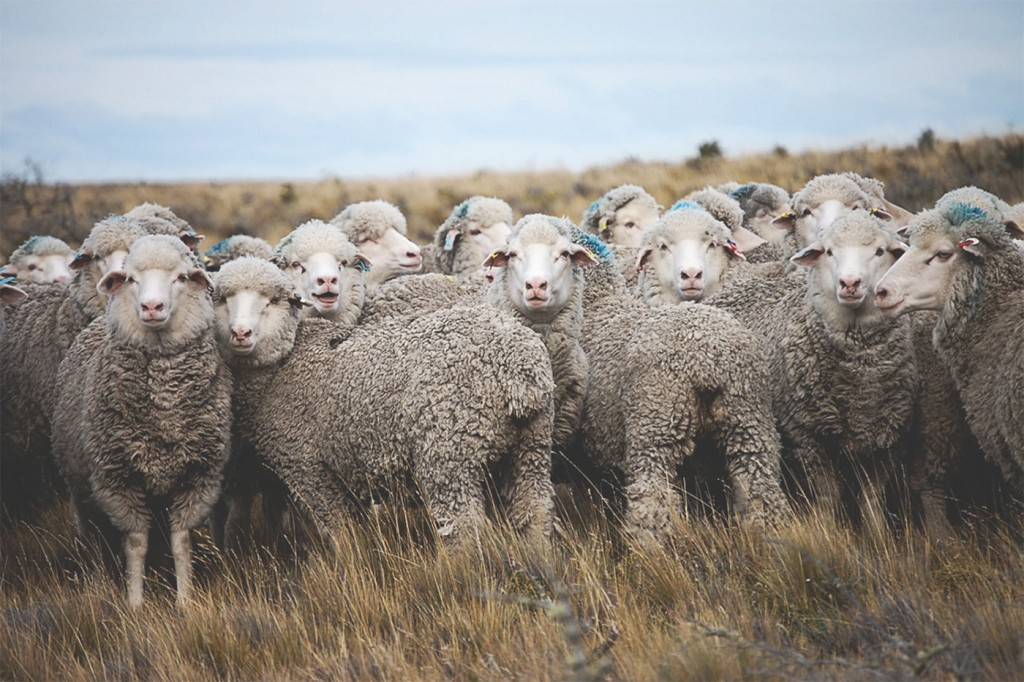 Woolfolk Sheep - Photograph Courtesy of Woolfolk