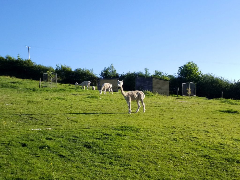 Alpacas in the field at Pistyll Gwyn Farm