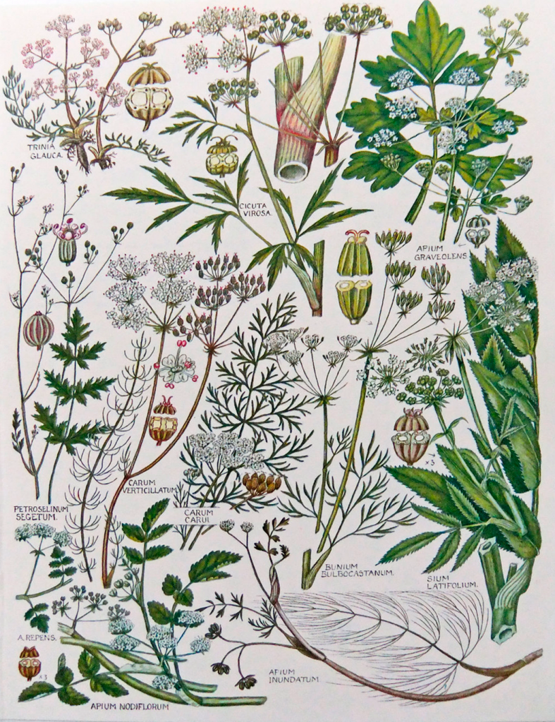page of W Keble Martin's botanical illustrations