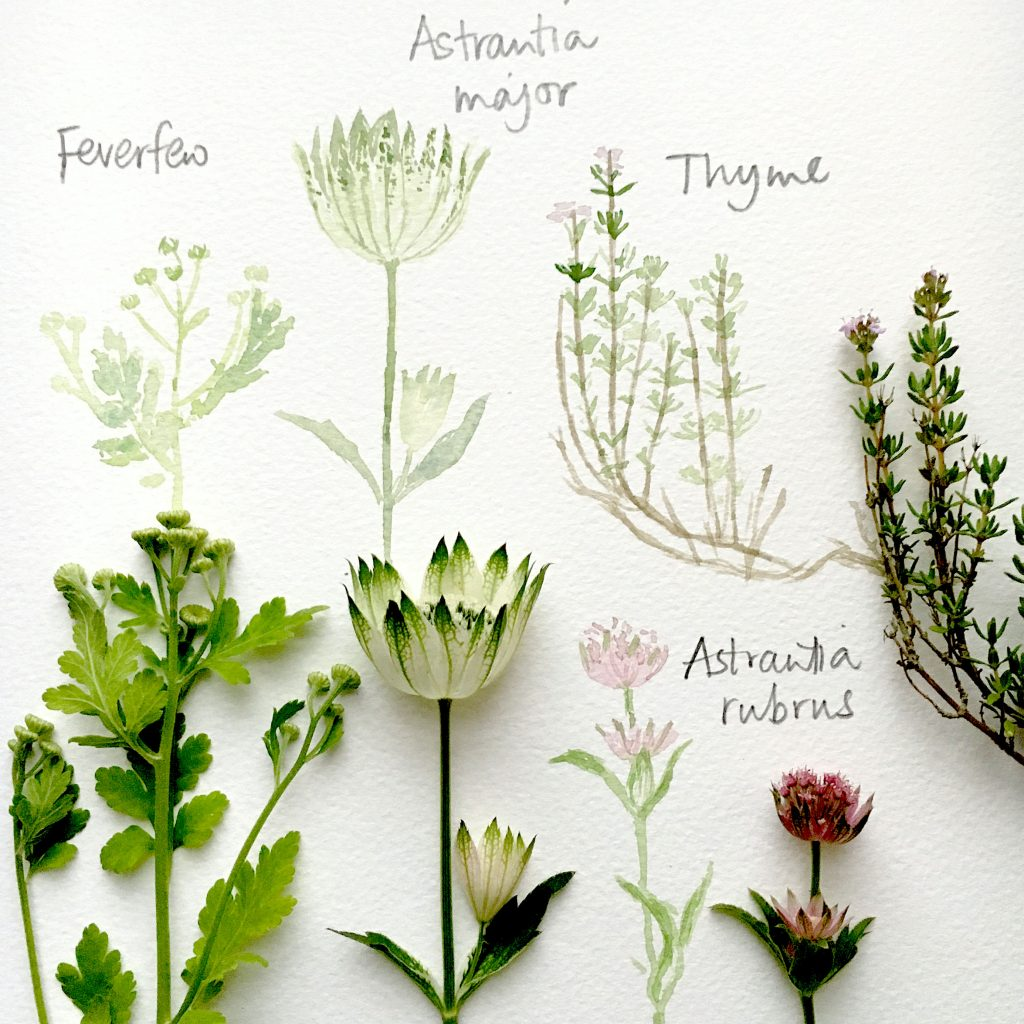 watercolour plants from Silverpebble2